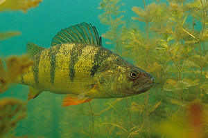 Shallow thinking: Perch under the ice aren't always deep